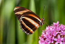 Banded Orange Butterfly (Dryadula Phaetusa) On Pink Flowers