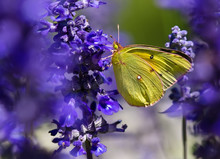 Orange Sulphur (Colias Eurytheme) Butterfly On Salvia Flowers