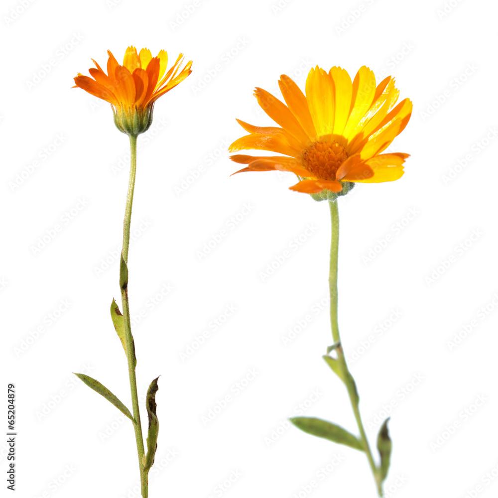Fototapety, obrazy: Flowers of Calendula isolated on white