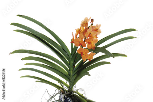 Photo Stands Orchid Orange Orchidee , close-up