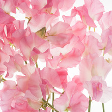 Sweet Pea Flower Background