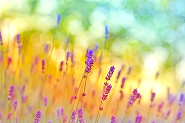 Panel Szklany Do Spa Soft focus on beautiful lavender
