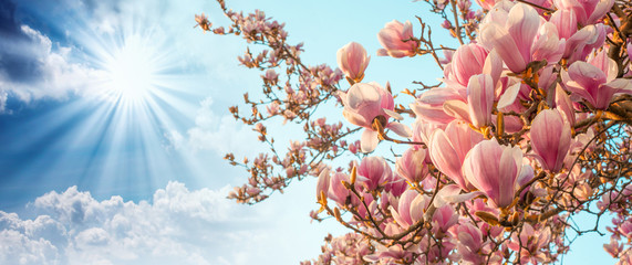 Fototapeta Magnolia tree blossom with colourful sky on background
