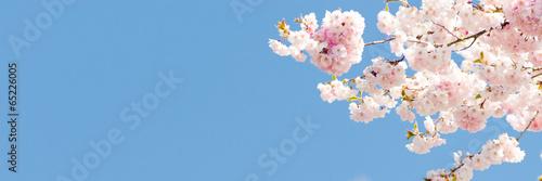 Stickers pour portes Fleur de cerisier kirschblüte als banner