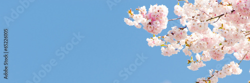 kirschblüte als banner