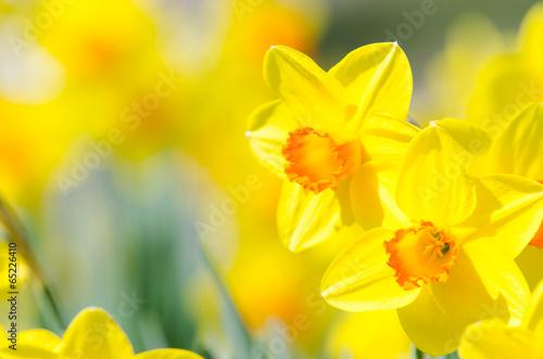 Spoed Foto op Canvas Narcis osterblumen, narzissen