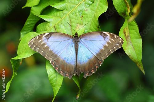 Deurstickers Vlinder Blue Morpho butterfly with spread wings