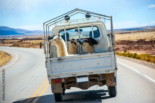 Crédence de cuisine en verre imprimé Lama Three lamas with traditional ear tags ride in a truck