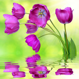 fresh purple tulips reflected on the surface of the water