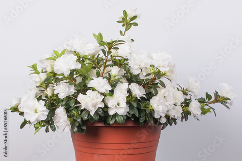 White Azalea flower