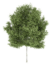 Silver Birch Tree Isolated On ...