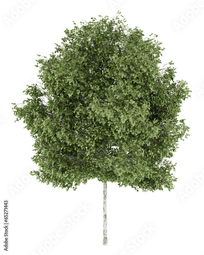 Fototapeta silver birch tree isolated on white background