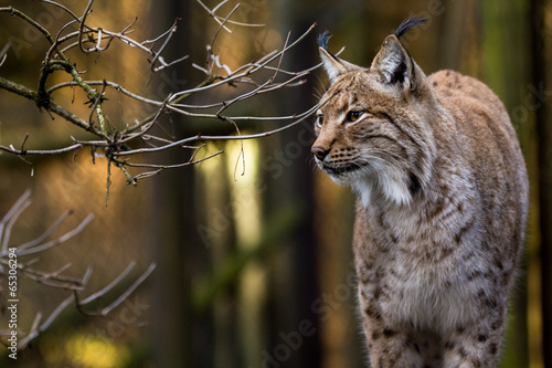 Fotobehang Lynx Close-up portrait of an Eurasian Lynx in forest (Lynx lynx)