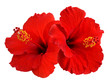 Leinwandbild Motiv Red Hibiscus