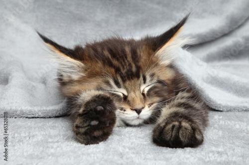 Fototapeta premium Kociak Maine Coon śpi
