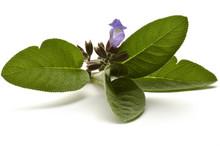 Salvia Officinalis Sauge Officinale Echter Salbei