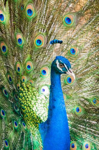 Foto op Aluminium Pauw Peacock showing his beautiful feathers