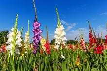 Bunte Gladiolen Im Feld Und Der Blaue Himmel