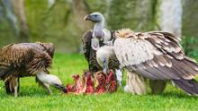 European Griffon Vultures (Gyps Fulvus Fulvus) Eating