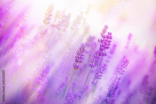Fototapeta Lavender illuminated by sunlight obraz na płótnie