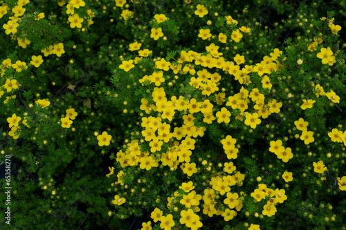 Valokuvatapetti Blooming Potentilla fruticosa Kobold