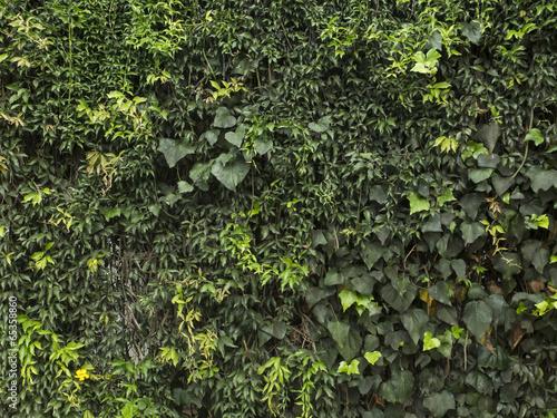 Textura de trepadoras. Hiedra, ficus, enamorada del muro Poster Mural XXL