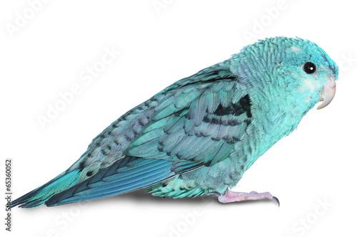 Obraz na plátně Blue lineolated parakeet