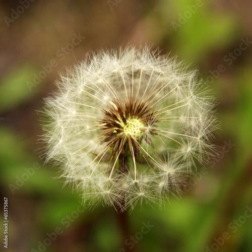 zblizenie-dandelion-na-zielonym-tle-nieostrosc