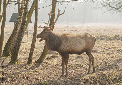 Deurstickers Hert Red deer