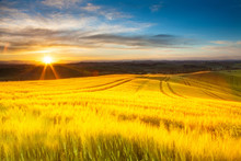Field Of Ripe Wheat In The Ray...