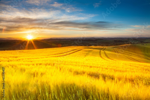 Poster Melon Field of ripe wheat in the rays of the rising sun.