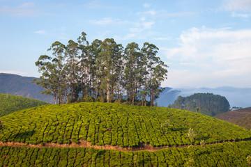 Fototapeta na wymiar Tea plantation