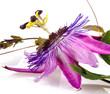 Passionsblume: Passiflora violacea :)