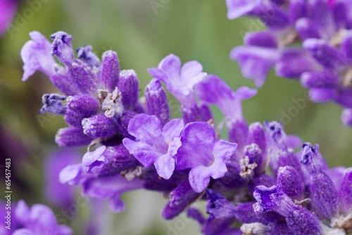fresh lavender flower close up - 65457483