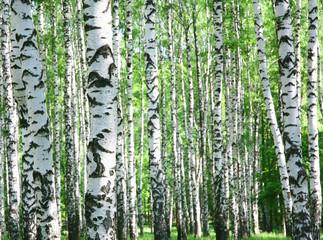 Fototapeta Brzoza Trunks of birch trees in spring