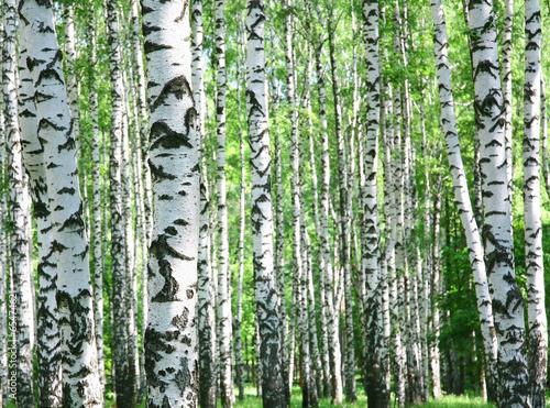 Tuinposter Berkbosje Trunks of birch trees in spring
