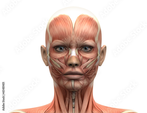Fotografie, Tablou  Female Head Muscles Anatomy - Front view