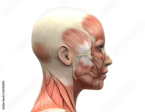 Female Head Muscles Anatomy - Side view - Buy this stock ...