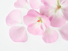 ゼラニウムの花びら