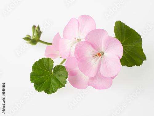 ゼラニウムの花と蕾と葉