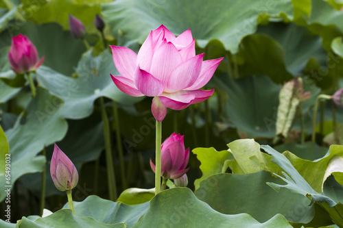 Lotus flower and Lotus flower plants