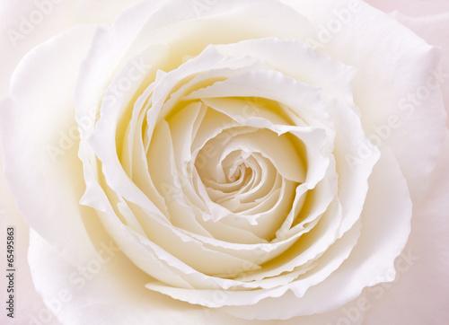bialy-kwiat-rozy-zblizenie