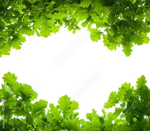 Fotografía  oak tree leaves isolated