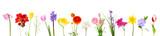 Fototapeta Tulipany - Fresh spring flowers isolated on white