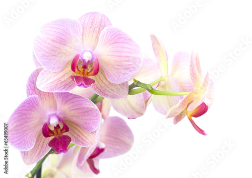 Fototapety, obrazy: orange orchid in the pot isolated