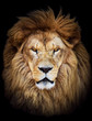 canvas print picture - Portrait of huge beautiful male African lion against black backg