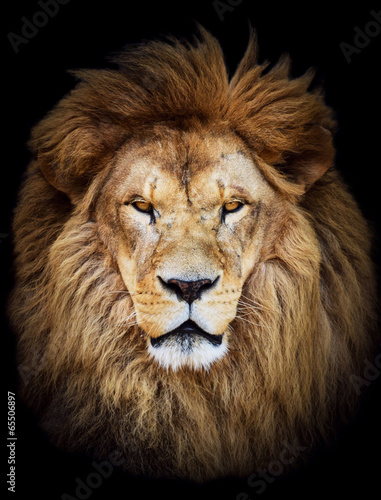 Fényképezés Portrait of huge beautiful male African lion against black backg