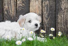 Baby Dog: Coton De Tulear Pupp...