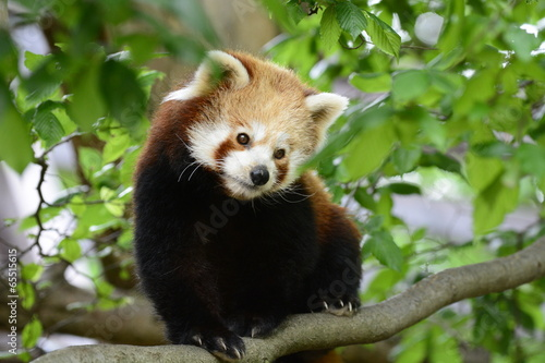 Photo Roter Panda