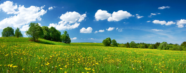 Obraz na SzkleField with dandelions and blue sky